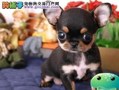 出售苹果头超小体纯血统的哈尔滨吉娃娃 狗贩子勿扰