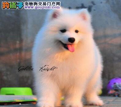 广州微笑天使萨摩耶热销中三个月包退包换萨摩耶犬质保