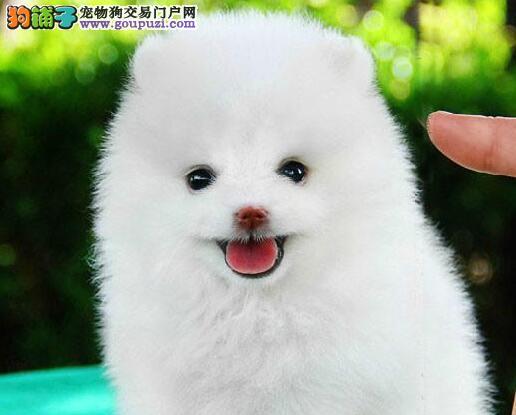 乐山狗场基地出售博美犬纯种幼犬黄白色包健康 可送货