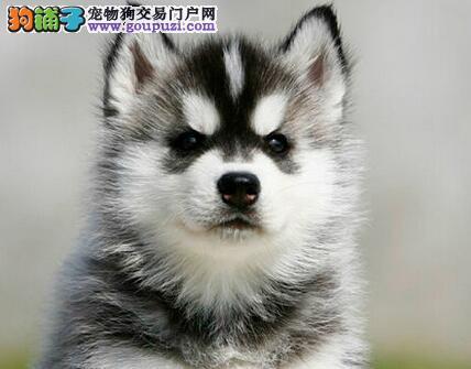 正规狗场犬舍直销哈士奇幼犬微信咨询看狗狗照片