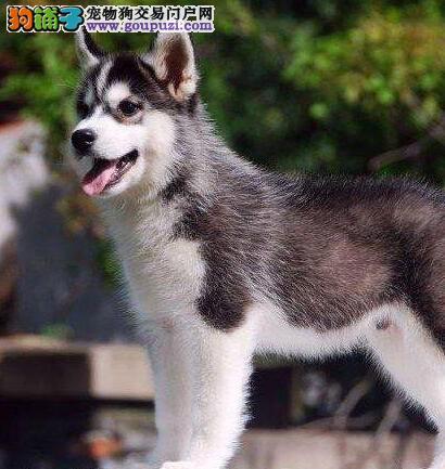 经典三把火双蓝眼 堪称最帅名犬高品质哈士奇重庆热销
