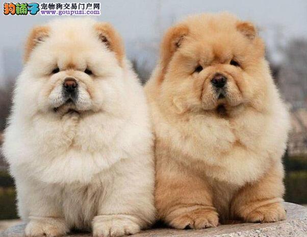 北京精品松狮犬出售毛色好血统纯正签协议包养活图片