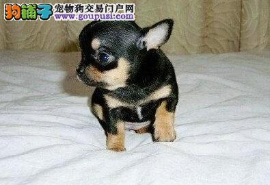 权威机构认证犬舍 专业培育吉娃娃幼犬请您放心选购
