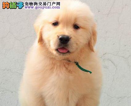 金毛太原最大的正规犬舍完美售后欢迎您的指导