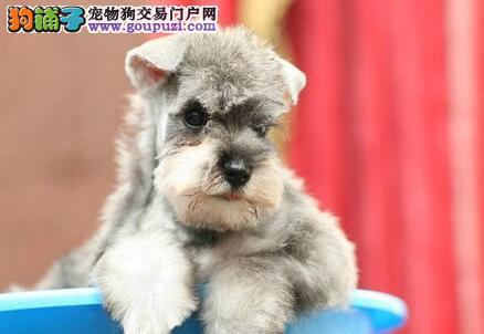 济南狗场出售超可爱的精品雪纳瑞 购买签订活体协议