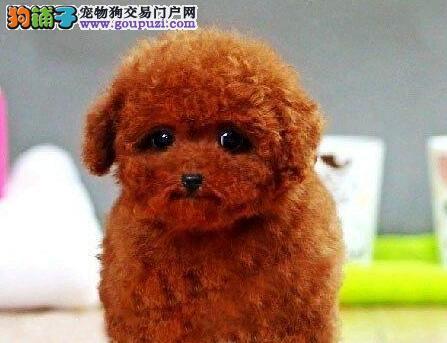 出售聪明伶俐泰迪犬品相极佳国际血统认证