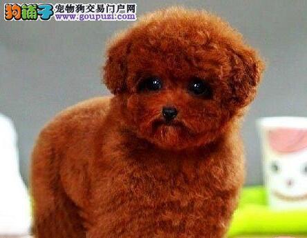 贵阳正规狗场自家繁殖出售纯种泰迪犬 身体健康有保证