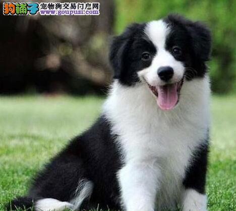 兰州正规的犬舍特价出售边境牧羊犬 可微信视频看狗