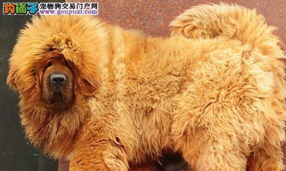 转让超高品质的兰州藏獒 大狮子头血统纯正 签订协议