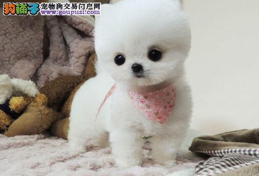 韩系纯白博美犬出售方体爆毛短嘴终身保纯种健康签合同