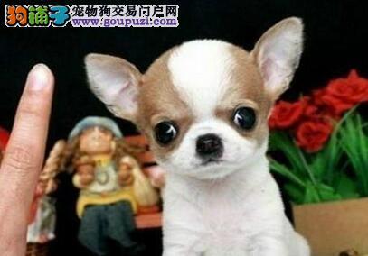 超小体纯血墨西哥吉娃娃苹果头大眼睛 多窝可选可刷卡
