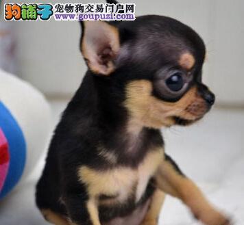 实体店热卖金鱼眼吉娃娃宁波地区购犬可用品