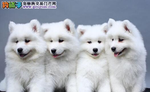 广州出售繁殖高品质纯种萨摩幼犬 雪白无垠 包健康纯种
