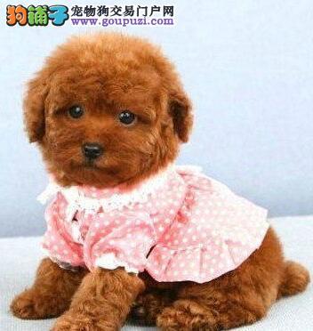 多种血系的汕头泰迪犬找爸爸妈妈 喜欢的朋友上门看狗