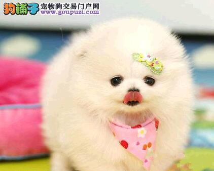 广州售博美俊介松鼠犬公母全有欢迎选购