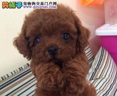 出售苹果脸大眼睛 超级可爱的桂林泰迪犬 疫苗齐全