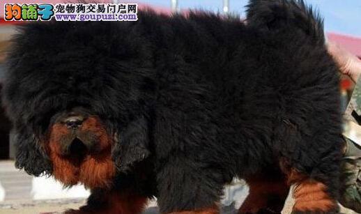 可送货 纯种藏獒幼犬出售 红獒铁包金 假一赔十