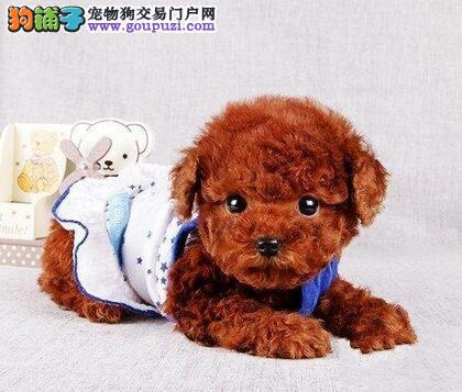 太原知名狗场直销多种血系的泰迪犬 多只幼犬任选2