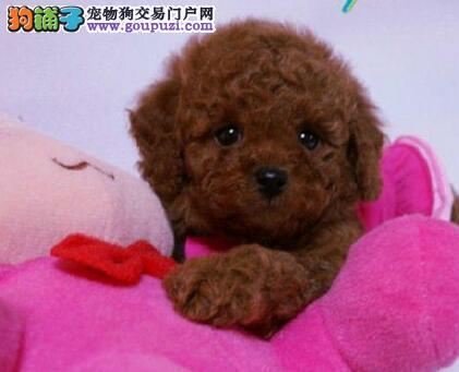 太原知名狗场直销多种血系的泰迪犬 多只幼犬任选1