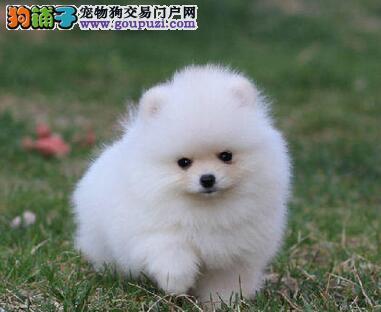 雪白诱惑 炫动博美幼犬长春待售中 绝对的小体型