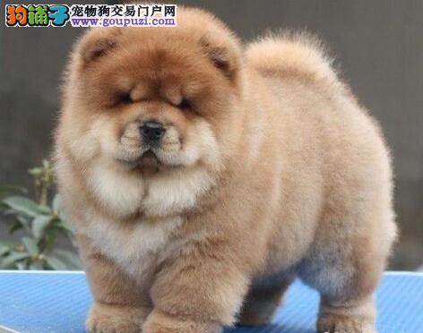 赛级松狮犬 肉嘴松狮北京市出售中保纯种保健康