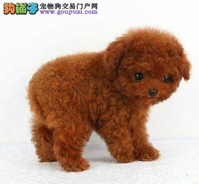 广州赛级品质韩系泰迪犬健康质保微信视频免费送货