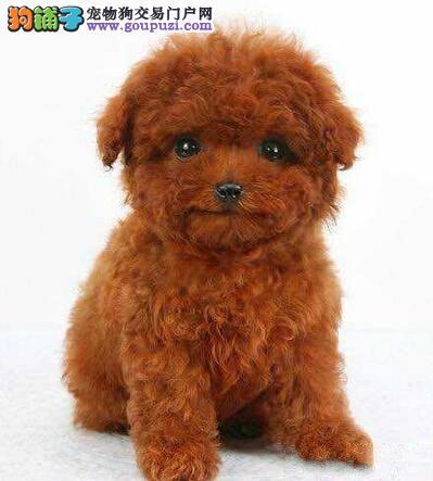 济南售泰迪犬卷毛贵妇犬幼犬公母全有可挑选3