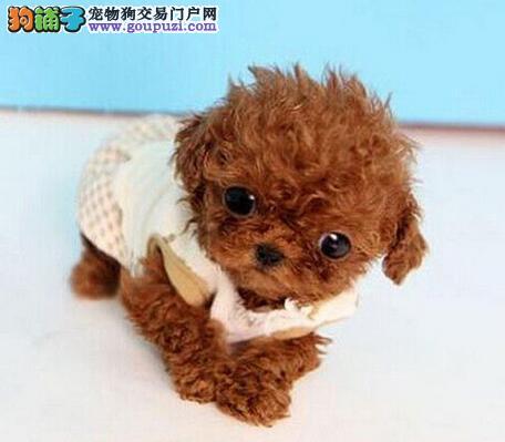 可爱至极的广州泰迪犬找新主人啦 购买可签订协4
