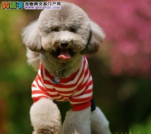 广州知名的犬舍出售贵宾犬 多种颜色多种血统 包售后