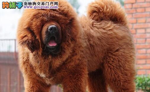 大骨架毛量好的广州藏獒幼崽火爆转让 品质健康均保证