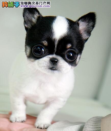 高品质吉娃娃幼犬,保证品质一流,签署合同质保