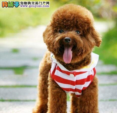 济南专业繁殖基地出售贵宾犬 可视频看狗 可免费送货