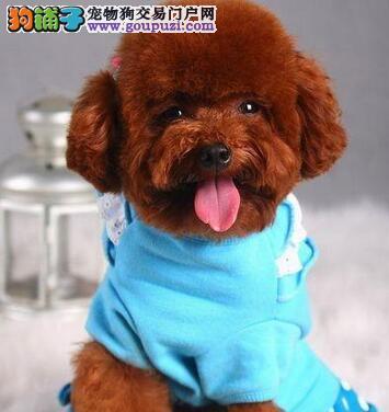热销优秀血系乌鲁木齐贵宾犬 有血统证书保证纯度