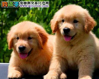 济南犬舍出售赛级品质的金毛幼犬 公母都有 欲购从速
