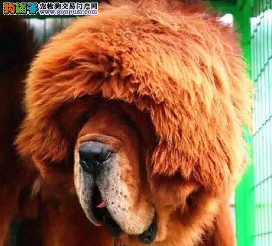 出售高品质藏獒幼犬 成都地区欢迎来犬舍直接购买