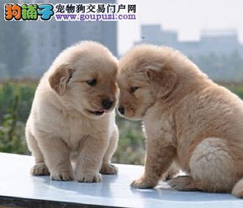 攀枝花出售大头宽嘴纯种金毛幼犬 同城可送货上门2