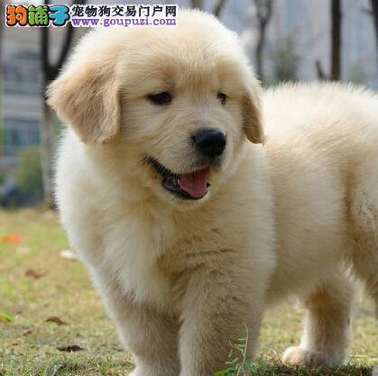 攀枝花出售大头宽嘴纯种金毛幼犬 同城可送货上门