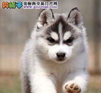 经典三把火双蓝眼 堪称最帅名犬 极品哈士奇石家庄待售