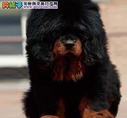 南京精品獒园出售铁头包金血系的藏獒幼崽 狗贩子勿扰