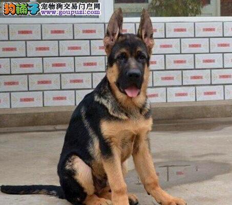 高品质的南京德国牧羊犬特价优惠出售 没有后顾之忧