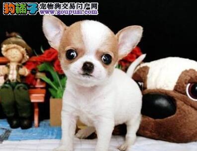唐山大型养殖基地常年直销吉娃娃犬 苹果头小巧可爱