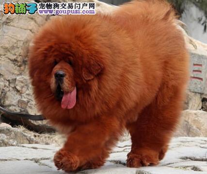出售威猛i潇洒的藏獒犬 健康证书 血统证书4
