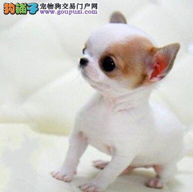 吉娃娃幼犬出售 签合同 保一年健康 包纯种 上门看狗