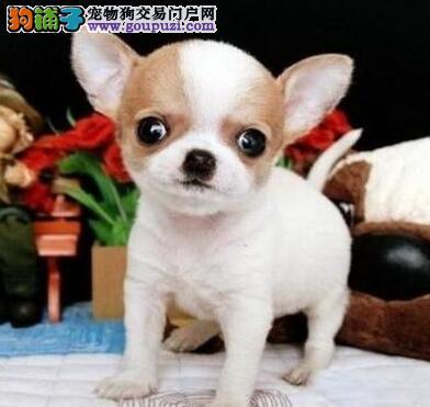 赤峰茶杯体吉娃娃幼犬出售 家庭式繁殖聪明的小型犬