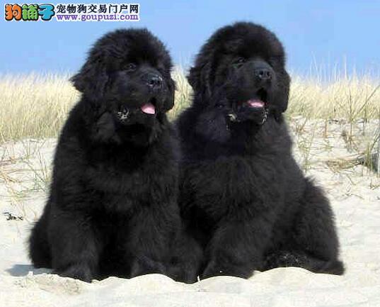来的早晚不如来的巧 购买多大的纽芬兰犬最合适