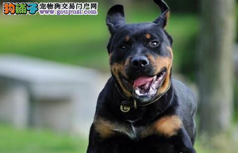 健康的体现 健康的罗威纳犬具有怎样的特征