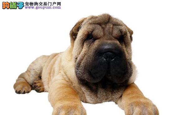 选购优质沙皮狗的需要注意的几个方面