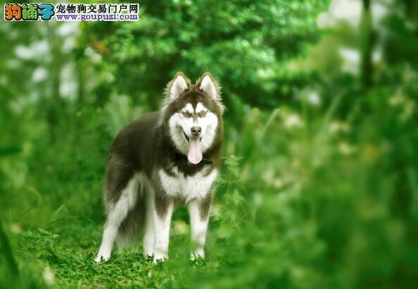 选狗知识普及 阿拉斯加雪橇犬和哈士奇应当怎样区别