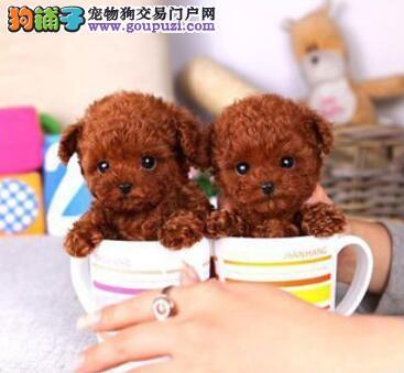 选购关键要点 筛选茶杯犬的注意要点