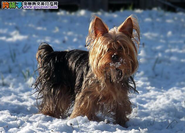 判断狗狗健康有窍门 怎样挑选健壮的约克夏